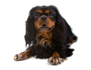 English Toy Spaniel